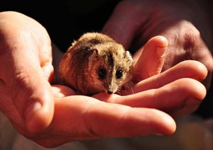 A Stripe-faced Dunnart at Boolcoomatta Reserve, SA. Photo Annette Ruzicka.
