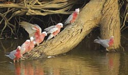 Galahs come in to drink at Oonartra Waterhole, Boolcoomatta Reserve, SA. Photo Wayne Lawler / EcoPix.