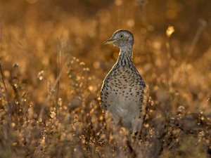 A critically endangered Plains-wanderer. Photo Lachlan Hall.