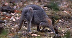 Redneck wallaby at Carnarvon Station Reserve, Qld. Photo Wayne Lawler / EcoPix.