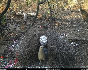 The Yourka shed bowerbird caught in the act. Note the new drink bottle lid used on the left. An Agile Wallaby looks on.
