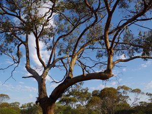 York Gum on Eurardy Reserve. Photo Leanne Hales.