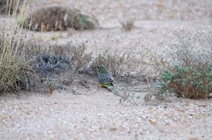 A young Night Parrot photographed on Pullen Pullen Reserve in December 2017. Photo Nick Leseberg.