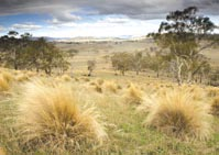 Grassy white gum woodlands and silver tussock grass. Photo Matt Newton.