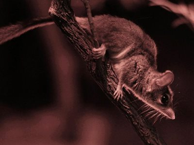 A Red-tailed Phascogale. Photo S J Bennett (flickr.com/people/quollism/)