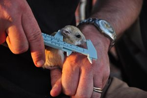A Dusky Hopping mouse is measured. Photo Annette Ruzicka.