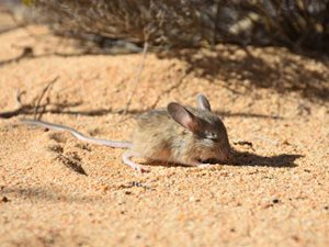 A Mitchell's Hopping Mouse on our Charles Darwin Reserve (WA). Photo Will Hansen.
