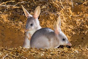 Greater Bilbies. Photo Bruce Thomson.