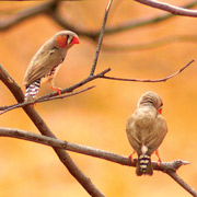Zebra finches are colourful residents of Cravens Peak Reserve, Qld. Photo Wayne Lawler / EcoPix.