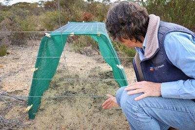 Bush Heritage ecologist Angela Sanders inspects a specially-designed wallaby tunnel. Photo by Amelia Caddy.