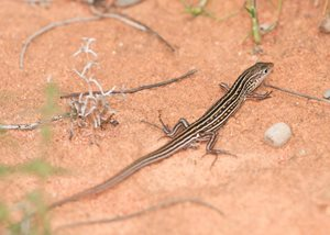 Hamelin Skink in action. Photo Simon Fordham / NaturePix.