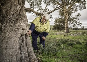 Dja Dja Wurrung assessor Ron Kerr inspects a scar tree on the Nardoo Hills reserves. Photo by Annette Ruzicka.