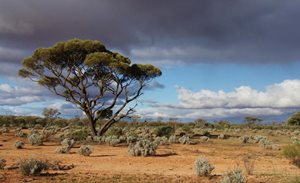 Western Myall tree over Pearl Bluebush. Photo Julia Harris.