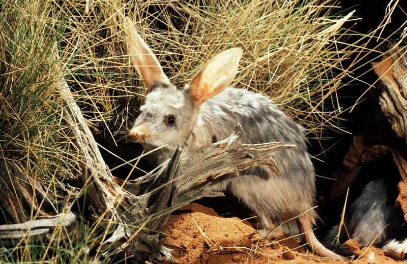 the greater bilby bush heritage australia
