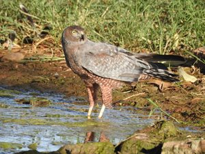 A Spotted Harrier, is among the birds to enjoy the habitat on Naree. Photo Jane Blackwood.