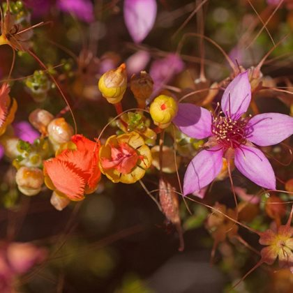 Calytrix and Pileanthus wildflowers on Eurardy. Photo Ben Parkhurst.