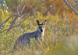 A Western Brush Wallaby in the nearby Fitzgerald River National Park, WA. Photo by Georgina Steytler.