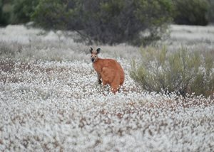 A Red Kangaroo amongst wildflowers on Charles Darwin Reserve, WA. Photo Dale Fuller.