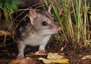 The endangered northern quoll. Photo: Jiri Lochman/Lochman Transparencies.