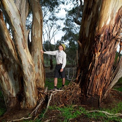 Reserve Manager Jeroen van Veen admires a mature Yellow Gum. Photo Peter Morris.