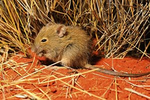 A Desert Mouse, usually sighted only after heavy rains, on Ethabuka Reserve. Photo Dr Aaron Greenville.