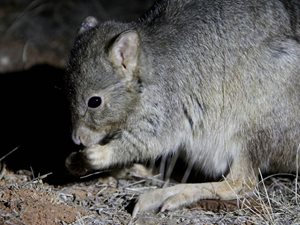 Burrowing Bettong. Photo Kate Taylor.
