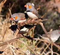 Zebra finches. Photo Eve Jani.