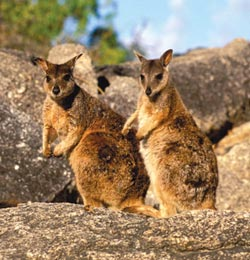 Mareeba rock wallabies. Photo Jiri Lochman / Lochman Transparencies.
