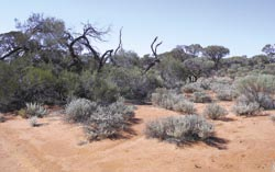 Threatened mulga Acacia aneura woodland. Photo Steve Heggie.
