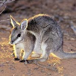 Bridled nail tail wallaby