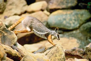 Yellow-footed Rock Wallabies have been sighted on our Boolcoomatta Reserve (SA). Photo Wayne Lawler/EcoPix.
