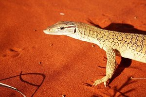 Gould's Monitor at Ethabuka Reserve, Qld. Photo Steve Wilson.