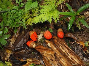 Fruits on the forest floor. Photo Craig Allen.