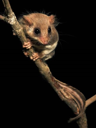 A Feathertail Glider. Photo Kris Bell.