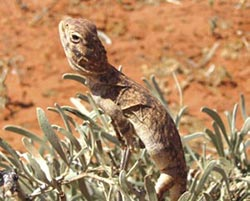 Central netted dragon, Cravens Peak Reserve. Photo Paul Foreman.