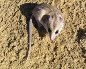 A Hairy-footed Dunnart on Eurardy Reserve, WA. Photo Leanne Hales.