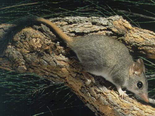 Red-tailed phascogale