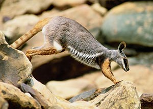 A yellow-footed rock wallaby on Boolcoomatta Reserve. Photo Wayne Lawler/EcoPix.