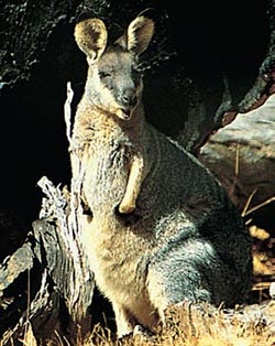 Black-gloved wallaby. Photo Jiri Lochman / Lochman Transparencies.