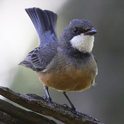 A male Rufous Whistler. Photo by Robert McLean