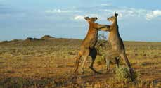Two Euros having a territorial stoush were among images captured by the new remote cameras on Boolcoomatta.