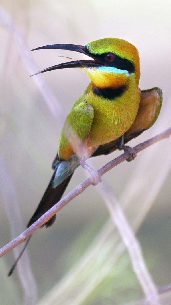 Rainbow Bee-eater at Bon Bon Reserve. By Glen Norris