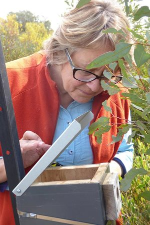 Volunteer Sandra Gilfillan checking a nest box for Pygmy Possums. Photo Angela Sanders.