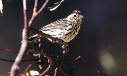 Speckled warbler. Photo Wayne Lawler / EcoPix.