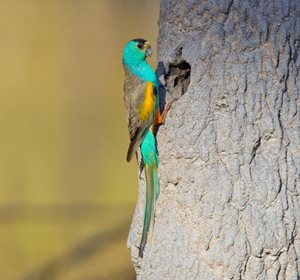 A male Golden-shouldered Parrot. Photo by Geoffrey Jones/Barra Imaging.