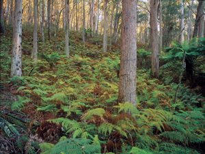 Eucalyptus forest with a ferny understory at Burrin Burrin. Photo: Wayne Lawler/Ecopix.