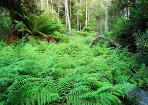 Bracken fern and Black Wattle Acacia species, Liffy River Reserve. Photo Wayne Lawler / EcoPix.