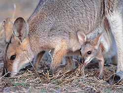 Black-striped wallabies are easy to see at Carnarvon Station Reserve. Photo Wayne Lawler/EcoPix.