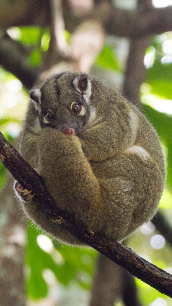 Green Possum in the Queensland Wet Tropics. By Craig Allen