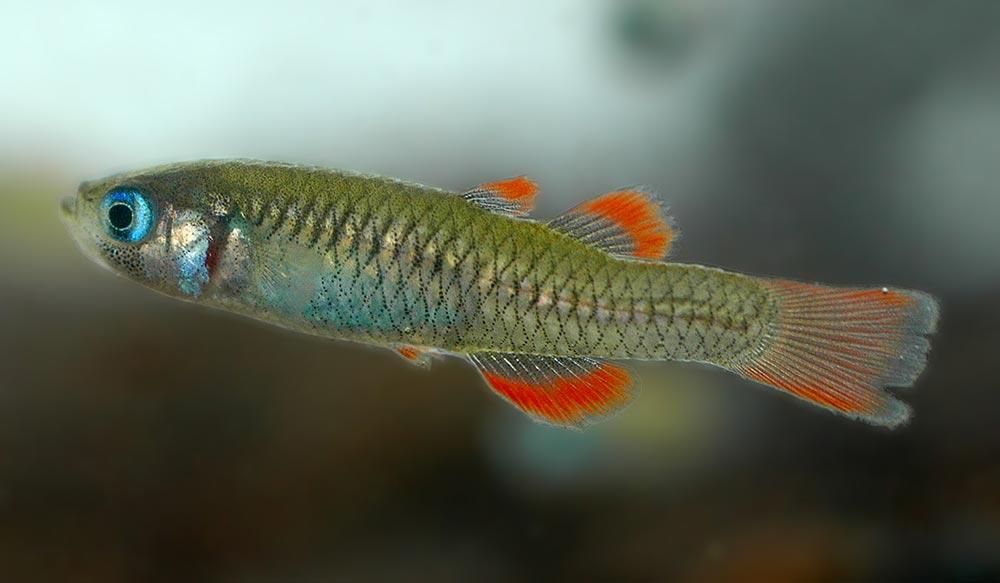 Red finned blue eye fish bush heritage australia for Blue fin fish
